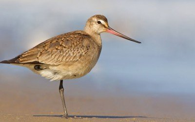 Rare Bird on The Aran Islands
